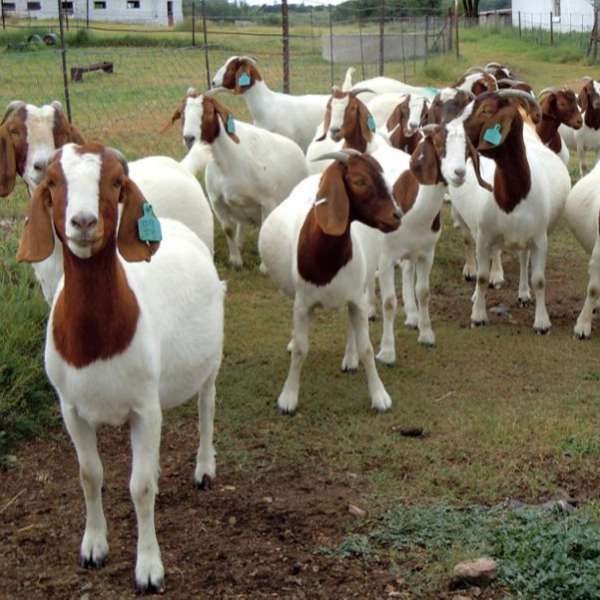 EXCELLENT DAIRY AND MEAT GOATS FOR SALE