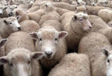 CHEAP AWASSI SHEEP /FAT TAIL AWASSI SHEEP /LIVE HEALTHY SHEEP FOR SALE