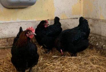 Good price! Marans chickens