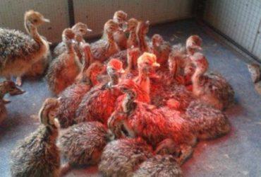Ostrich Chicks and Fertile Eggs