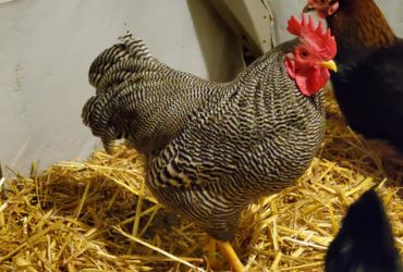 Good price! Plymouth Rock chickens