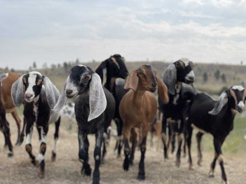 Nubian and Nigerian dairy goats